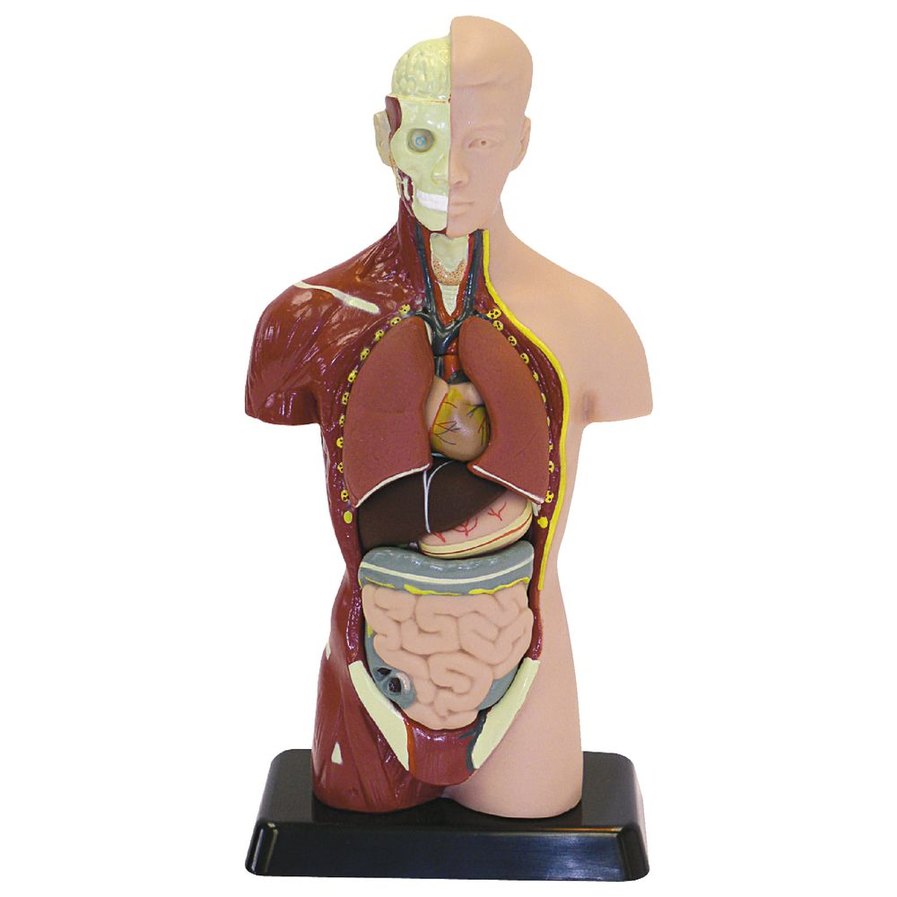 27 cm Human Anatomy Model